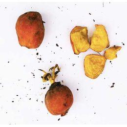 beterraba-amarela-comp