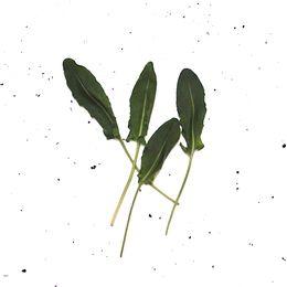 Azedinha-Organica---Raizs