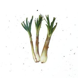 Echalotte-Organica-UN---Raizs