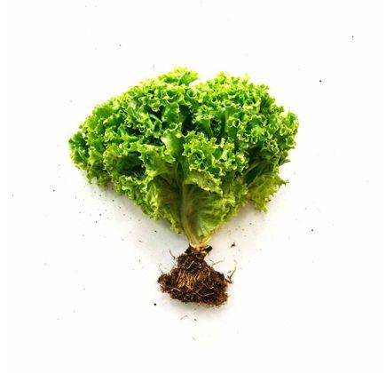 Alface-Crespa-Organica-Maco---Raizs