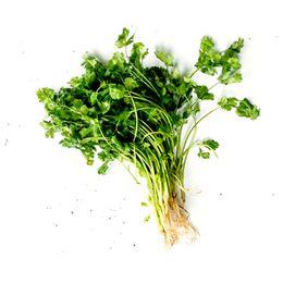 Coentro-Organico-Maco---Raizs