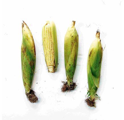 Milho-Verde-Organico--500g---700g----Raizs