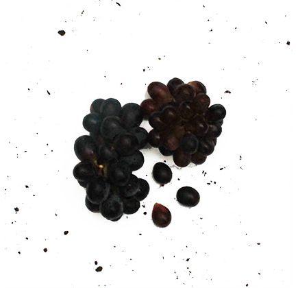 Uva-Vitoria-Organica-BDJ---Raizs